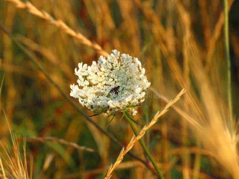 Небольшие белые цветки луга r Дикие обои цветков лета стоковая фотография
