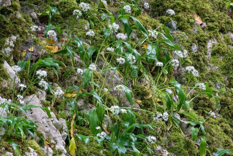 Небольшие белые цветки на каменной скале Ursinum лукабатуна, известное как дикий чеснок, ramsons, buckrams, широк-leaved чеснок,  стоковое фото