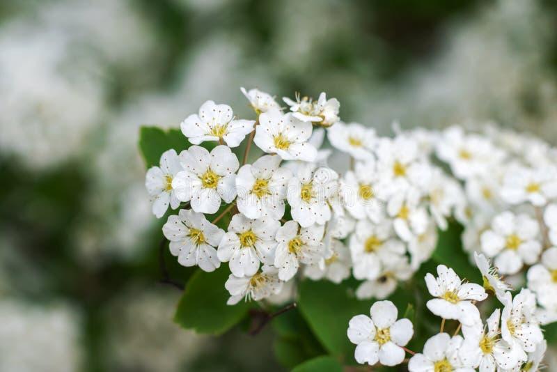 Небольшие белые цветки на конце ветви вверх стоковая фотография rf