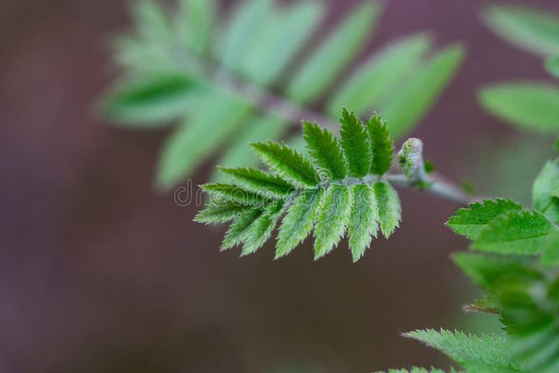 Небольшие волосатые листья на небольшом дереве в конце-вверх стоковые изображения rf