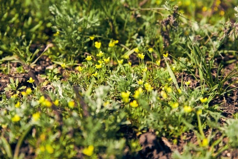 Небольшие желтые цветки среди зеленой травы весны на солнечной лужайк стоковое фото