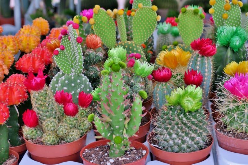 Небольшие зацветая кактусы других цветов стоковая фотография