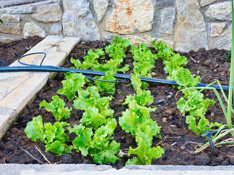 Небольшие зеленые заводы салата растя в домашнем саде стоковая фотография