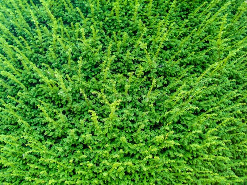 Небольшие зеленые листья покрывая все изображение для красивых предпосылок стоковое фото