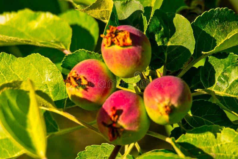 Небольшие неполовозрелые яблоки в листьях дерева сада стоковые изображения rf