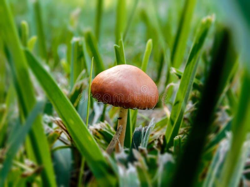 Небольшие оранжевые/загорают gilled гриб стоковое фото