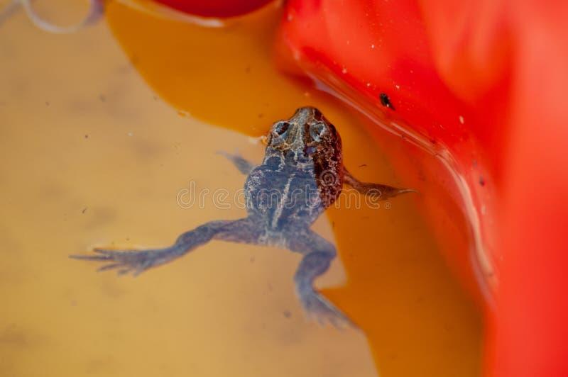 Небольшие поплавки жабы чеснока в тазе воды детей стоковое изображение