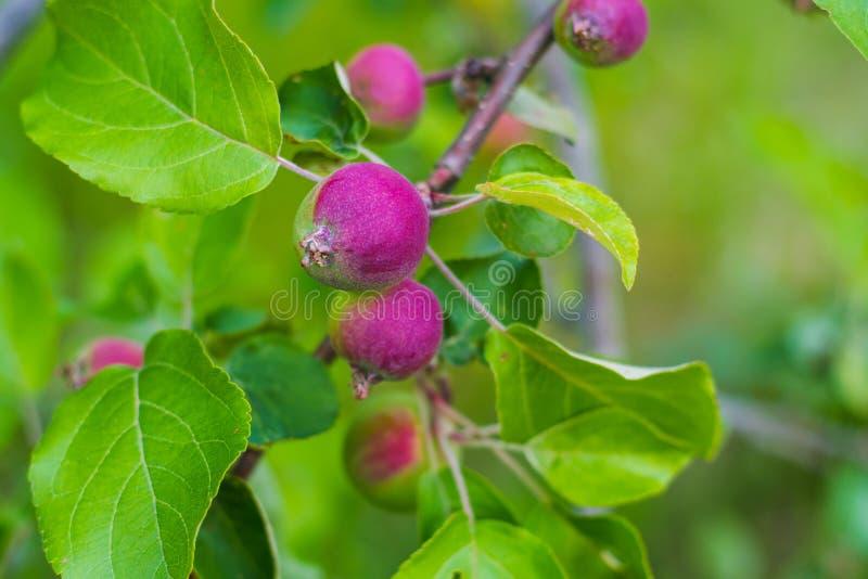 Небольшие растущие яблоки на дереве стоковое изображение rf