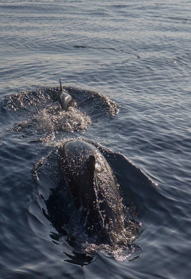 Небольшие школа/стручок общих дельфинов носа бутылки в Тихом океане между Санта-Барбара и островами канала в Калифорния США стоковое фото