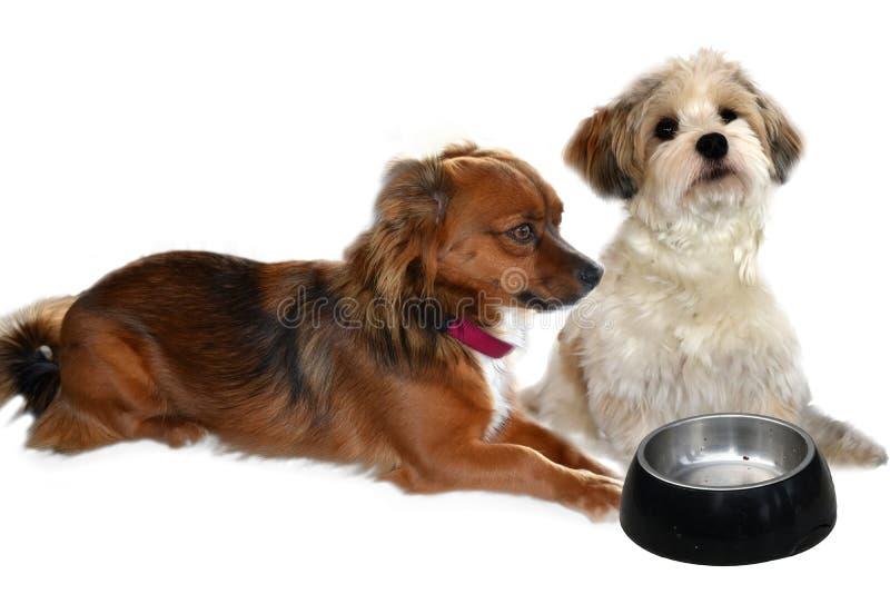 2 небольших собаки ждать еду стоковое фото rf