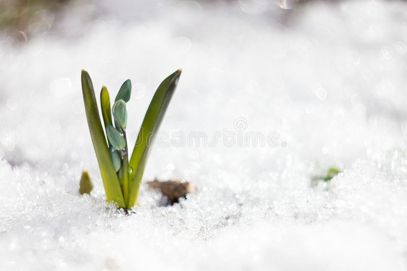 Небольшое голубое snowdrop с местом под надписью стоковое фото rf
