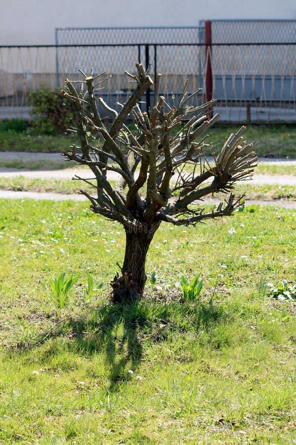 Небольшое декоративное дерево после вырезывания весны ветвей засаженных в местном саде окруженном с uncut травой и металл обнесут стоковая фотография