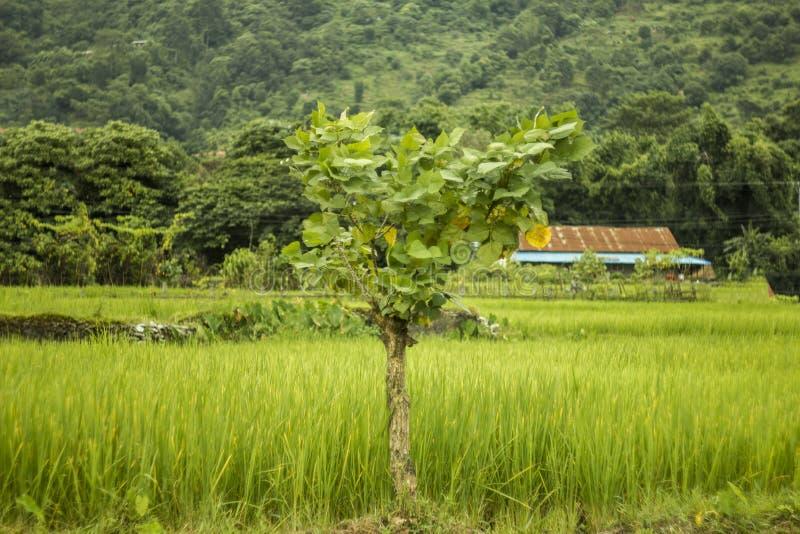 Небольшое дерево на предпосылке зеленых полей и гор риса с домом стоковое изображение