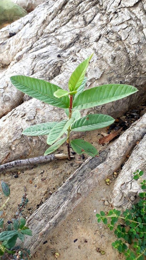 Небольшое дерево guava стоковые фотографии rf