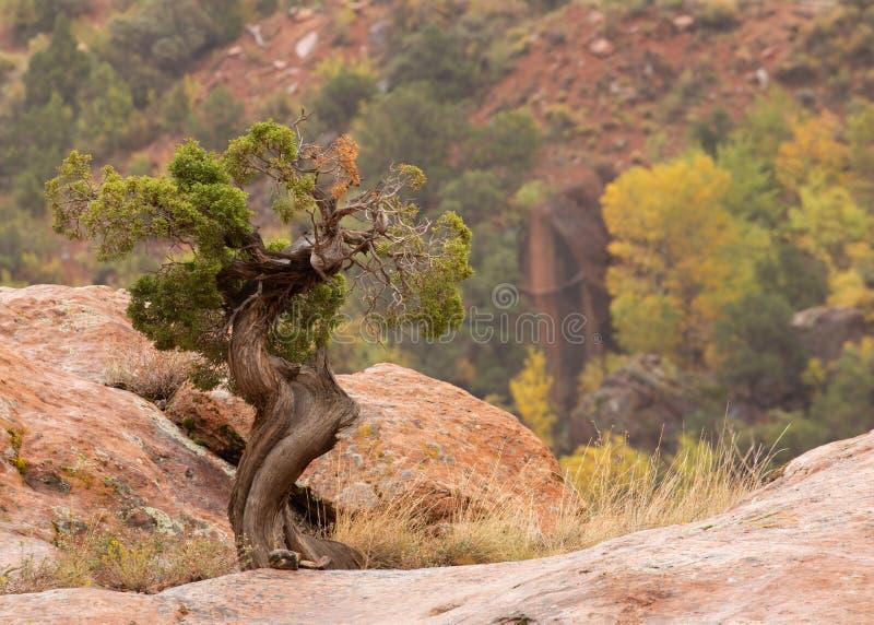 Небольшое зеленое дерево можжевельника растет поверх валуна песчаника пока в расстоянии хлопоки показывают их цвет осени стоковая фотография