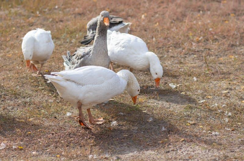 Небольшое стадо больших отечественных gooses ищет некоторую еду стоковое фото rf