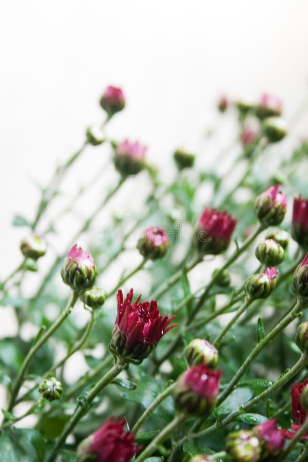 Небольшое темное - красные бутоны хризантемы на белой предпосылке в слабом свете стоковая фотография rf