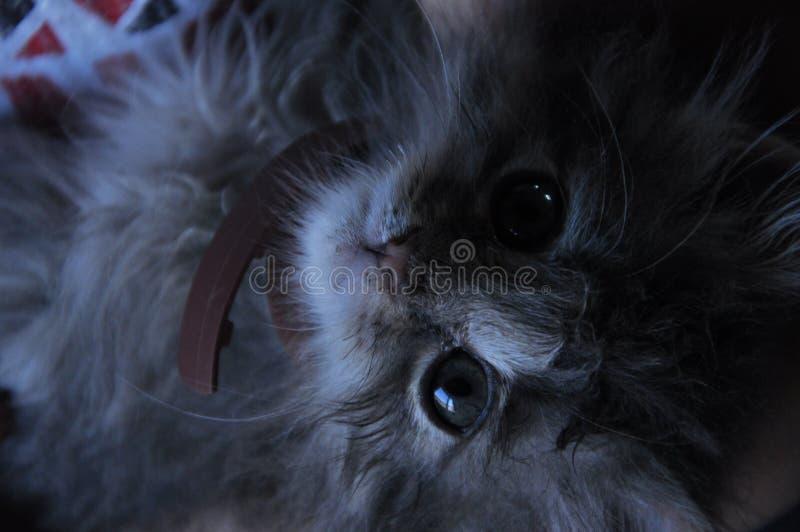 Небольшое темное - серый котенок с воротником стоковые изображения