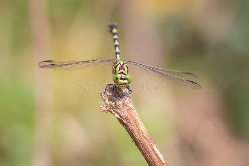 Небольшое pincertail или зелен-наблюданный крюк-замкнутый dragonfly, forcipatus Onychogomphus отдыхая в солнечном свете на растит стоковое фото rf