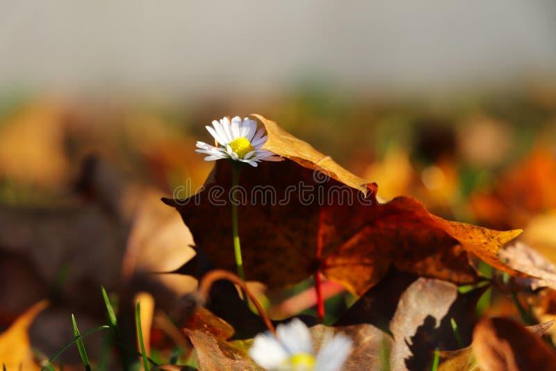 Небольшое touh осени Perennis Bellis медленно нажимая через лист для того чтобы осветить Белая маргаритка покрытая коричневыми ли стоковое фото