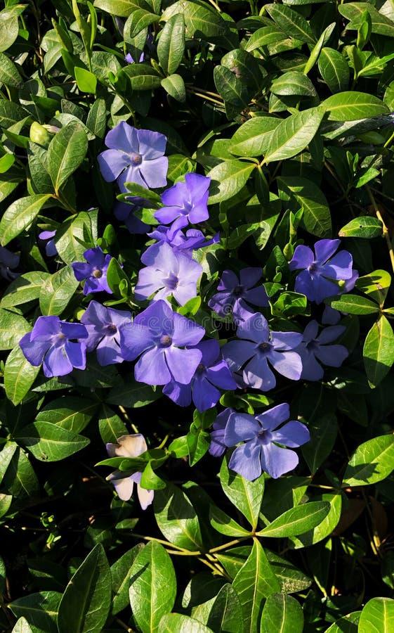 Небольшой барвинок красивые пурпурные цветки барвинка на предпосылке зеленых листьев стоковые изображения