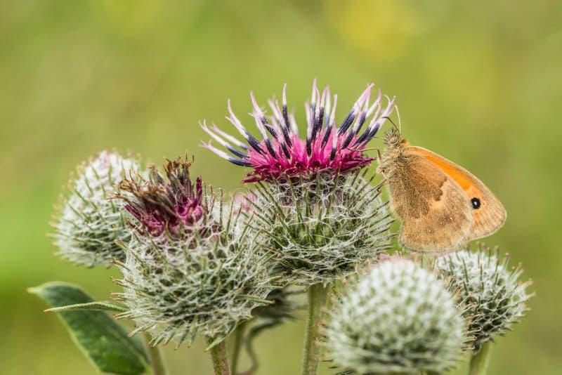 Небольшой вереск, оранжевая и коричневая бабочка стоковые фотографии rf