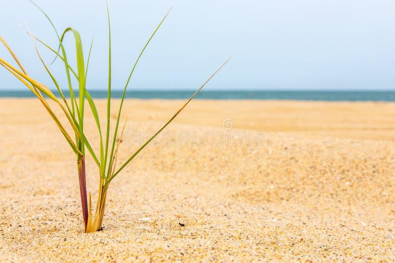 Небольшой вихор травы в песке на винограднике Марта, Массачусетсе стоковые фотографии rf