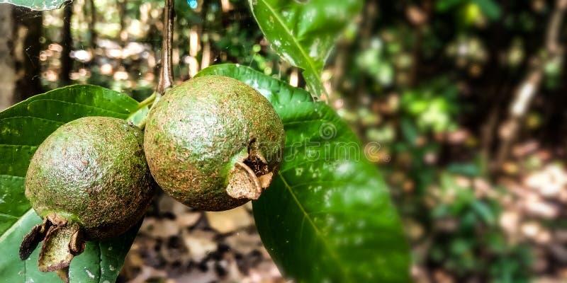 Небольшой и неполовозрелый плод guava стоковые фото