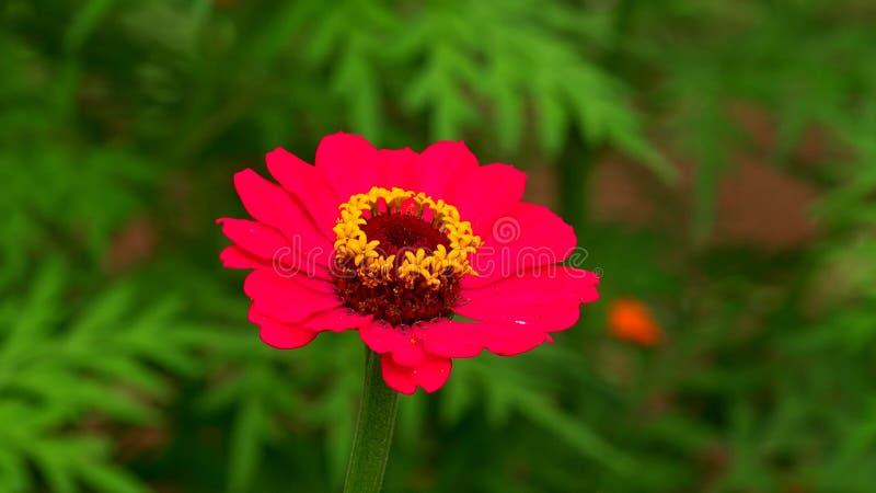 Небольшой и прекрасный, сад и полевой цветок Cynia стоковые фотографии rf