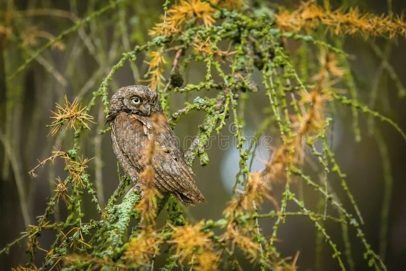 Небольшой коричневый европейский сыч scops, scops Otus сидя на дереве лиственницы стоковая фотография rf