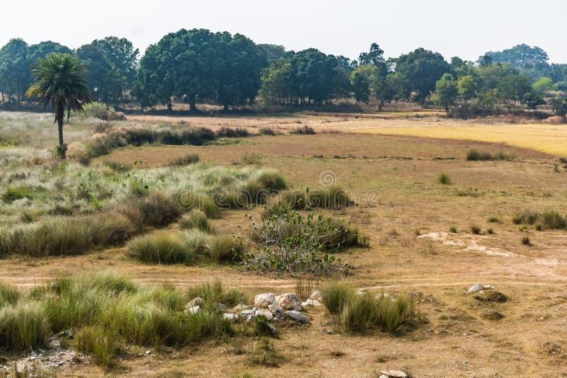 Небольшой кустарник с предпосылкой рисовых полей около небольшого леса индийского сельского района стоковое фото