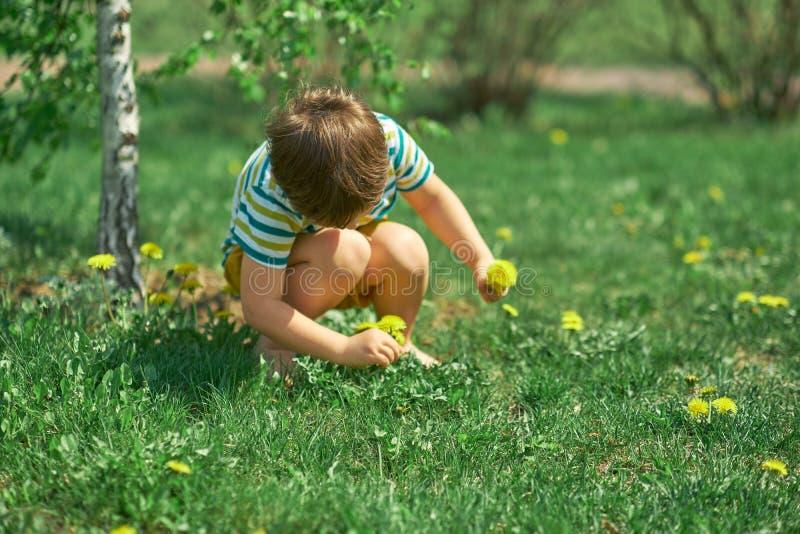 Небольшой мальчик играя весной лес, комплектуя желтые цветки одуванчиков стоковые изображения