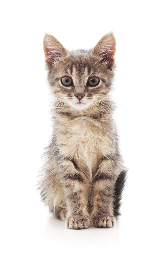 Небольшой серый котенок стоковая фотография rf