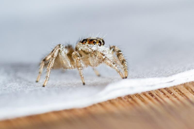 Небольшой скача конец паука вверх стоковая фотография rf