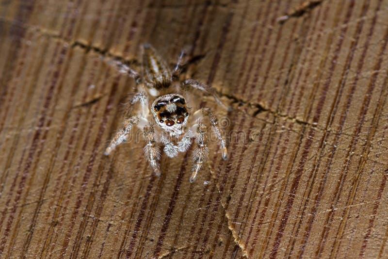 Небольшой скача конец паука вверх стоковые фото