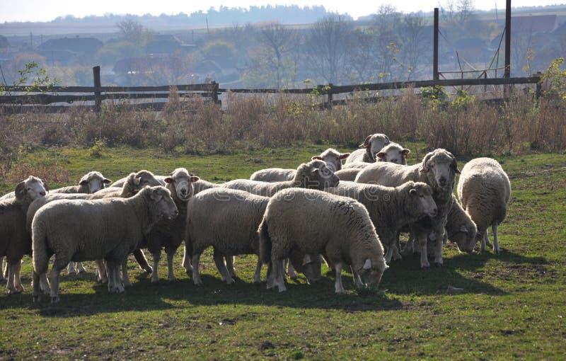 Небольшой табун овец стоковые фото