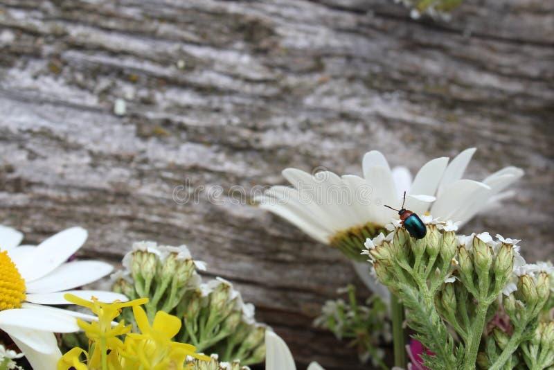 Небольшой таракан с усиком сидит на полевом цветке стоковое изображение