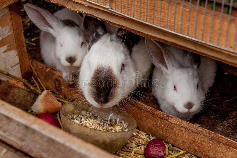 Небольшой цвет коричневого цвета кролика ест овощ на траве стоковое изображение