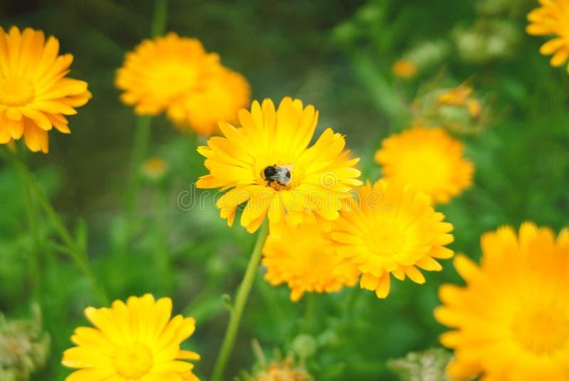 Небольшой шмель на желтом цветке стоковая фотография
