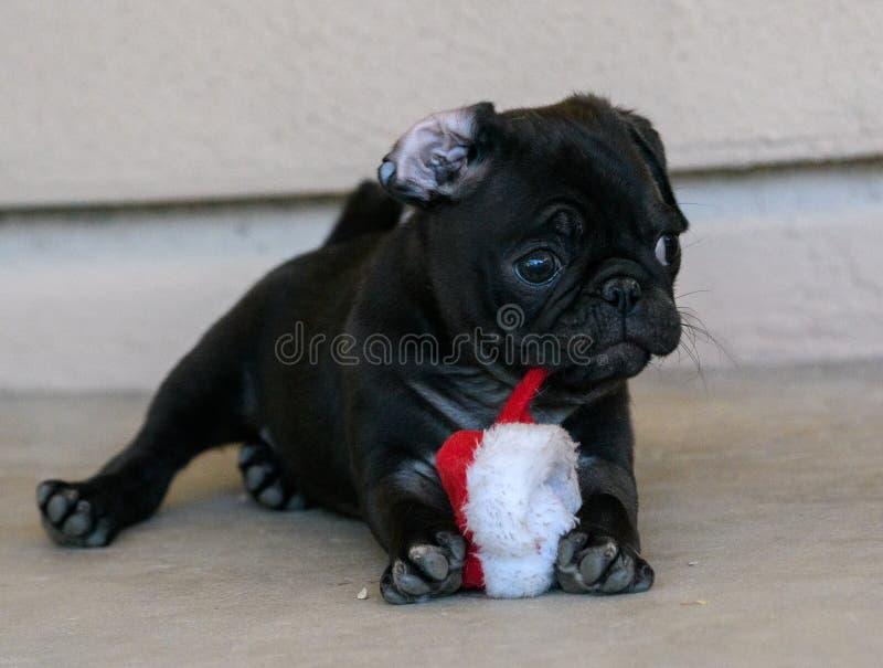 Небольшой щенок мопса играя с игрушкой стоковое фото