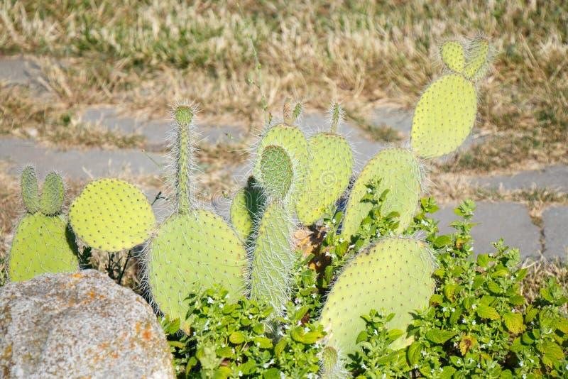 Небольш-leaved колючая груша на естественной зеленой предпосылке стоковая фотография rf