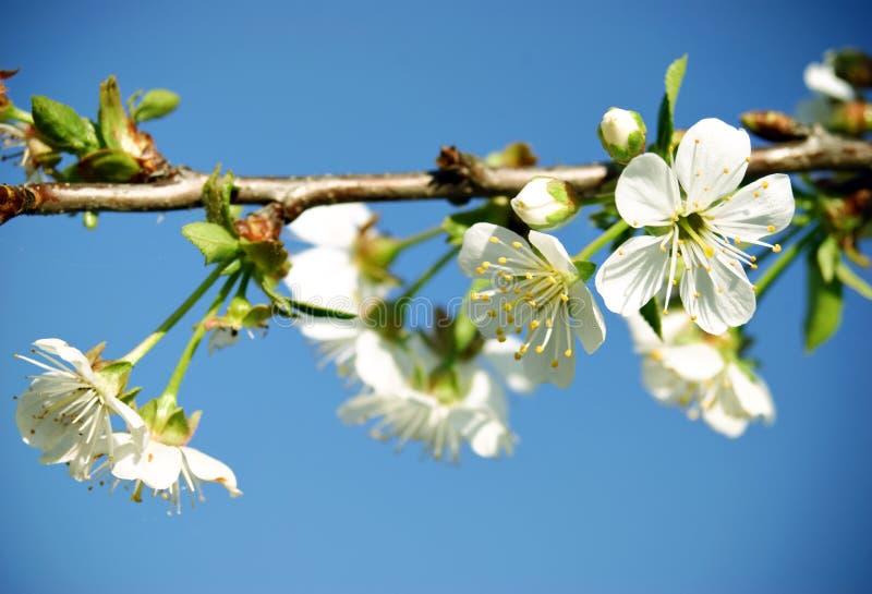 Download небо вишни цветения голубое Стоковое Фото - изображение насчитывающей жизнерадостно, бобра: 18384752