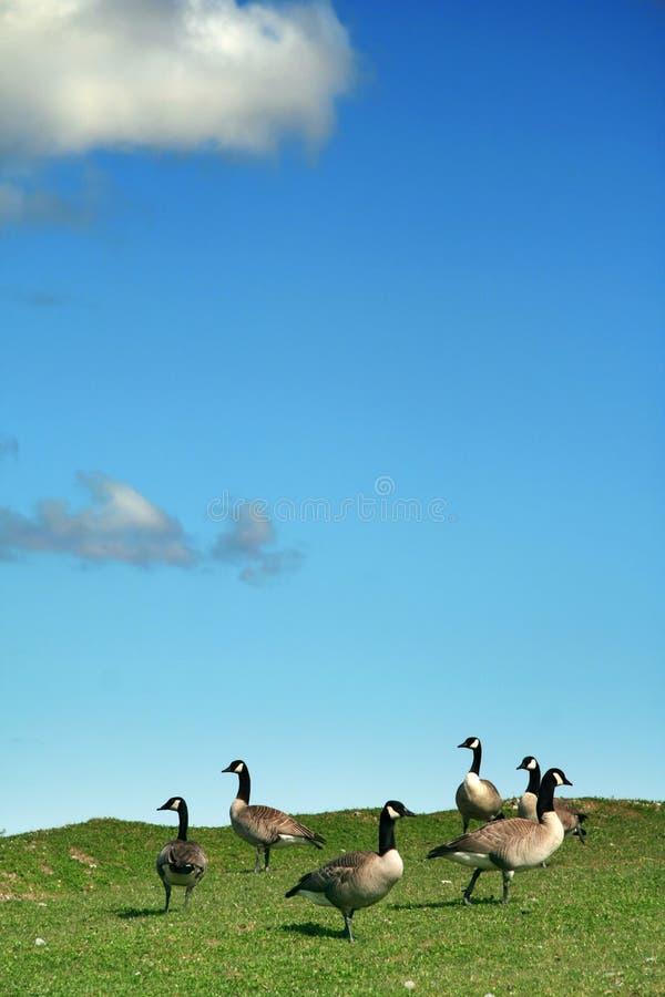 небо голубых гусынь стоковые фото