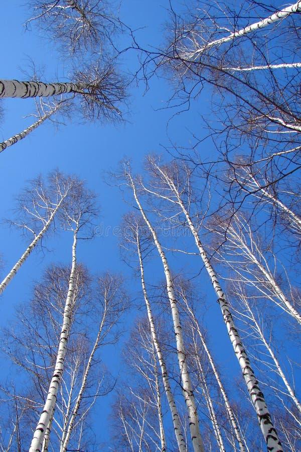 небо пущи березы голубое стоковое фото rf