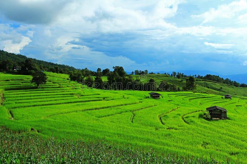 Небо риса и кукурузного поля ясное стоковые изображения rf