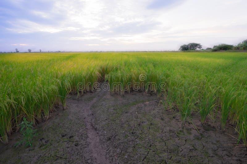 небо риса поля предпосылки стоковые фото