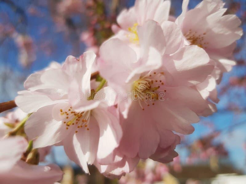 Небо розового agaist цветков весны голубое стоковое фото rf