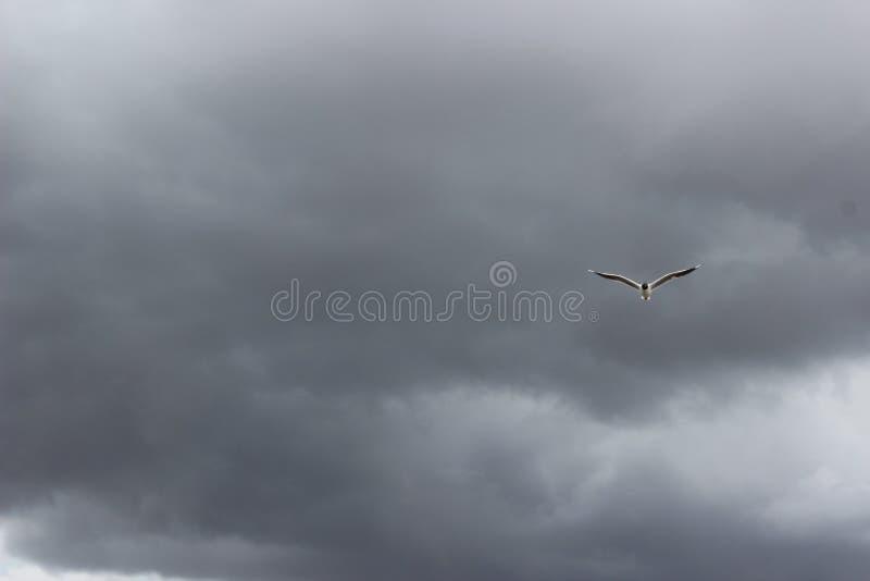 Небо серого цвета птицы стоковая фотография rf