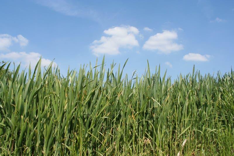 небо травы стоковые изображения