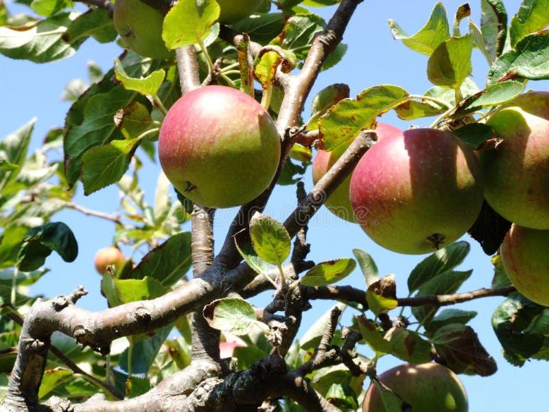небо яблока стоковое фото